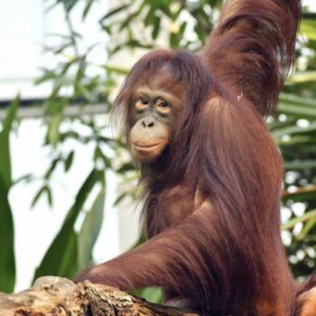 Alles Gute und auf Wiedersehen, liebe Surya! Orang-Utan-Mädchen ist jetzt eine Wienerin